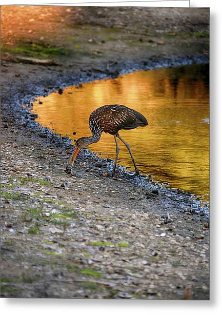 Limpkin On Shore Greeting Card