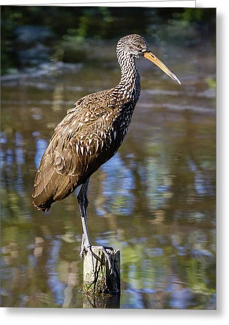 Limpkin Profile Greeting Card by Dawn Currie