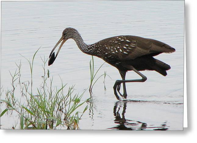 Limpkin With Shellfish Greeting Card