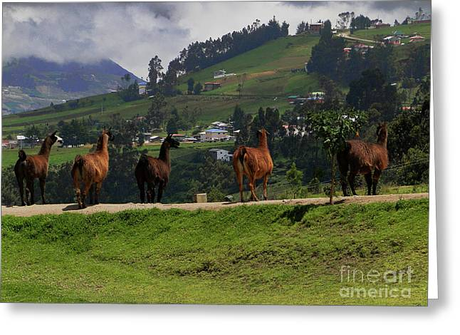 Line-dancing Llamas At Ingapirca Greeting Card by Al Bourassa