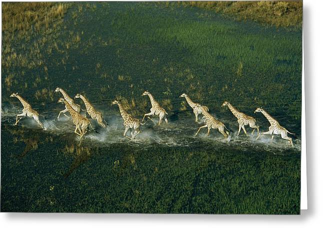 Line Of Galloping Giraffes Greeting Card by Bobby Haas