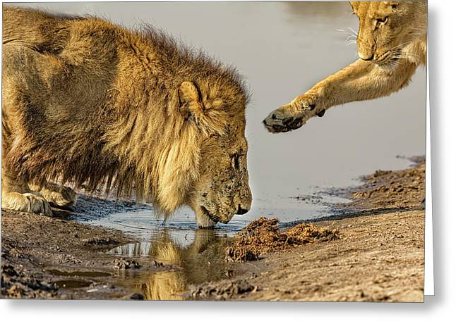 Lion Affection Greeting Card