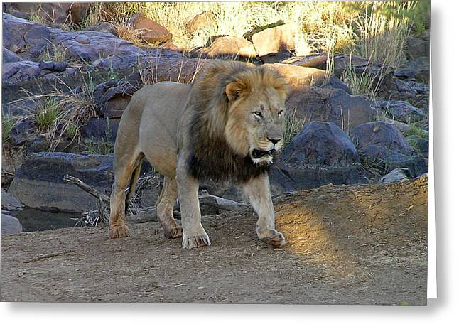 Greeting Card featuring the photograph Lion Alert by Phil Stone