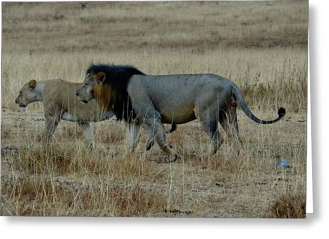 Lion And Pregnant Lioness Walking Greeting Card