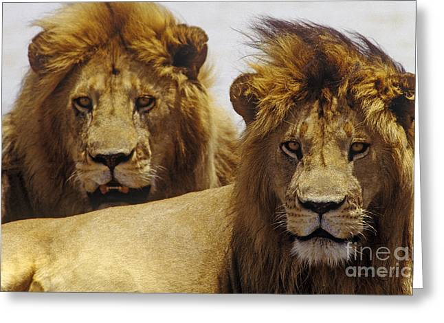 Lion Brothers - Serengeti Plains Greeting Card by Craig Lovell