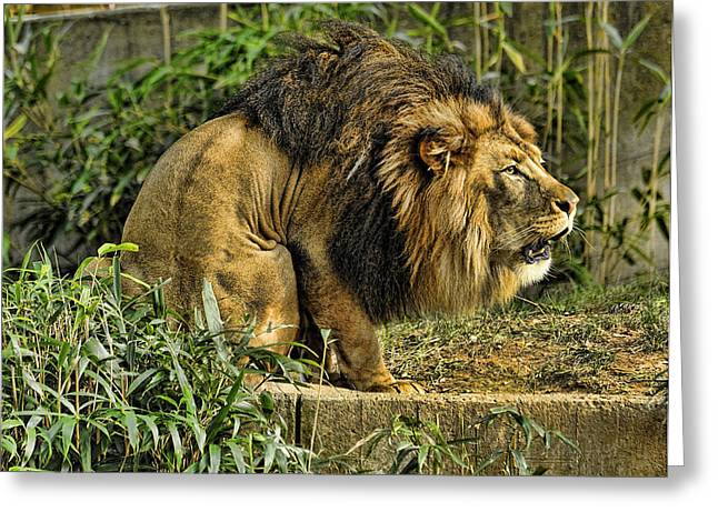 Lion Calling Females Greeting Card by Keith Lovejoy