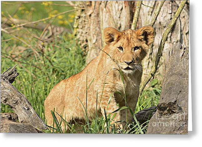 Lion Cub 2 Greeting Card by Marv Vandehey