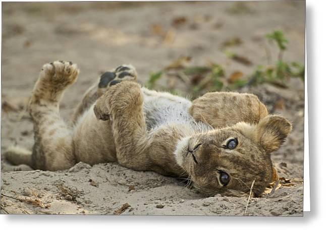 Lion Cub Greeting Card by Johan Elzenga