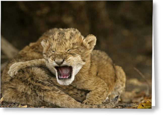 Lion Cubs Crying After Their Mother Greeting Card by Michael Nichols