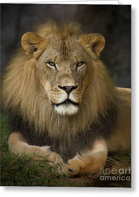 Lion In Repose Greeting Card by Warren Sarle