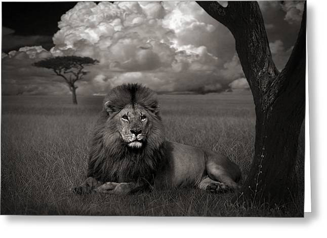 Lion In The Grass Greeting Card by Kathie Miller
