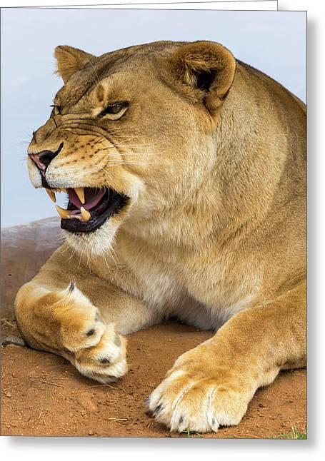 Lion Greeting Card by Jon Manjeot