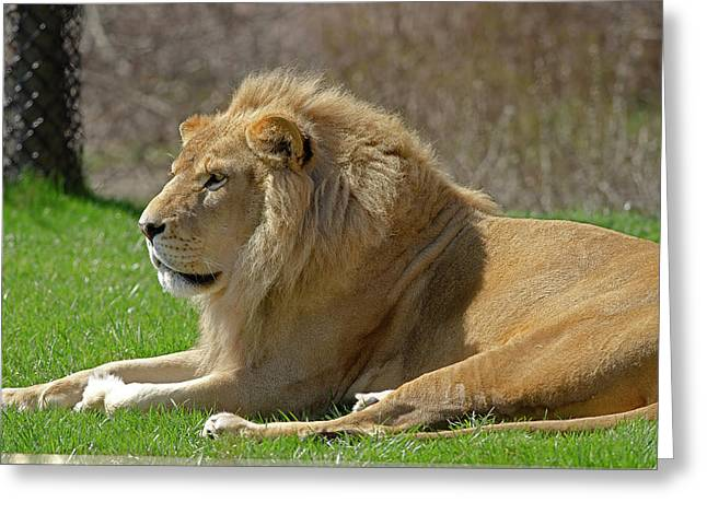 Greeting Card featuring the photograph Lion by JT Lewis