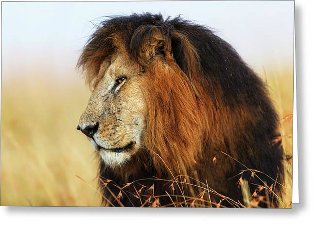 Lion King Notch In Masai Mara Greeting Card by Maggy Meyer