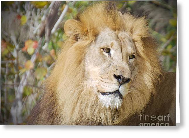 Lion Portrait Greeting Card by Judy Kay