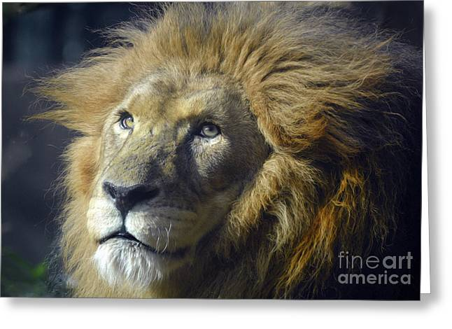 Greeting Card featuring the photograph Lion Portrait by Savannah Gibbs