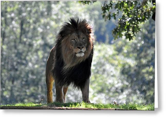 Lion Series 3 Greeting Card by Teresa Blanton
