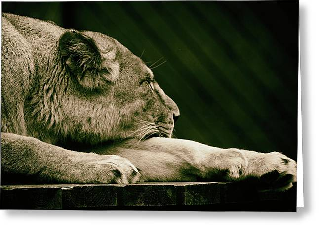 Lion Sleeps Tonight Greeting Card by Martin Newman