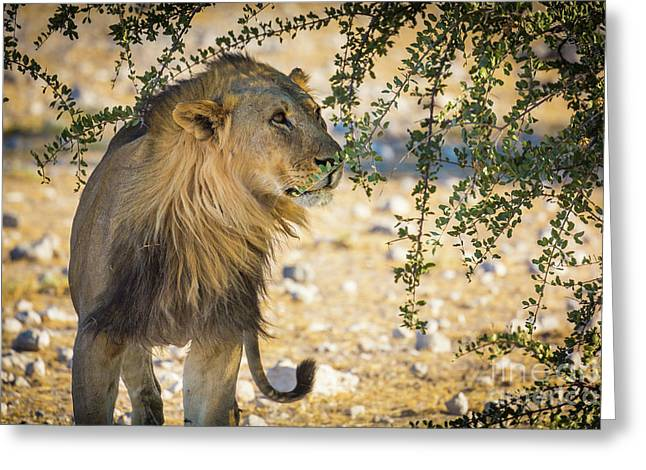 Lion Under Acacia Tree Greeting Card by Inge Johnsson