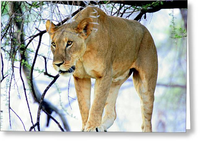 Lioness - Ready To Pounce Greeting Card by Nancy D Hall