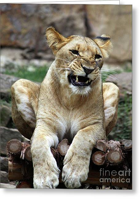 Lioness 2 Greeting Card by Inspirational Photo Creations Audrey Woods
