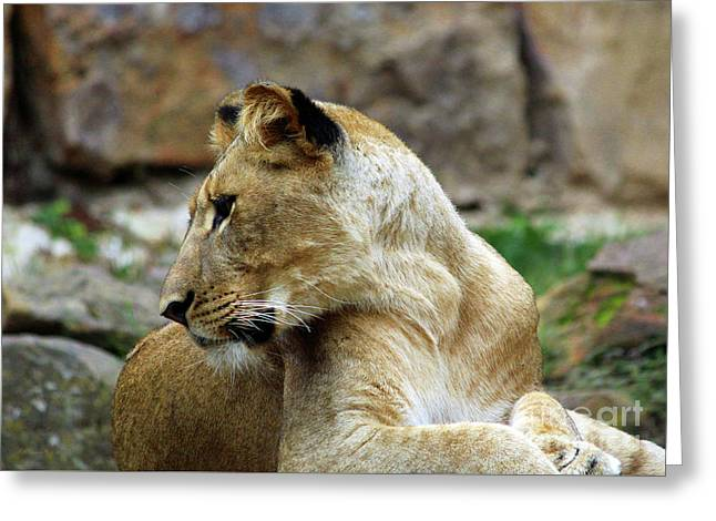 Lioness Greeting Card by Inspirational Photo Creations Audrey Woods