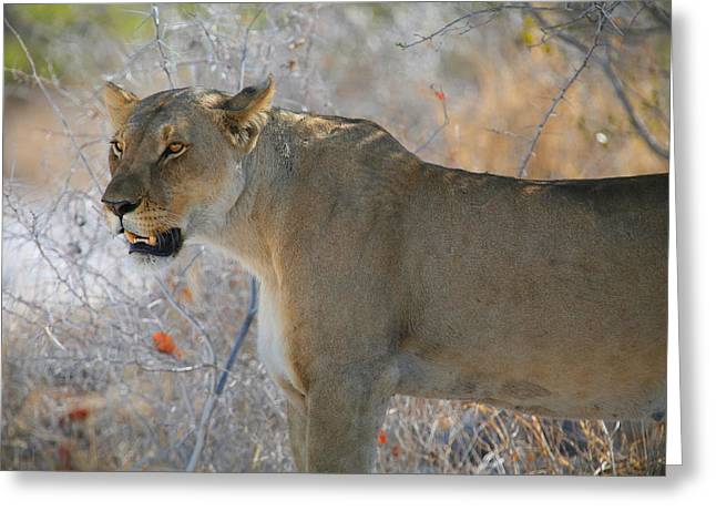 Lioness Greeting Card by Bruce J Robinson