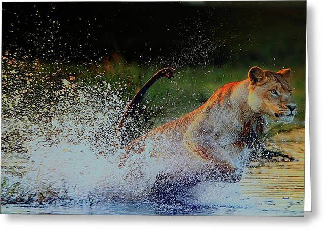 Lioness In Motion Greeting Card