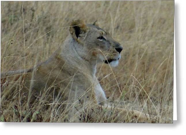 Lioness In The Grass Greeting Card