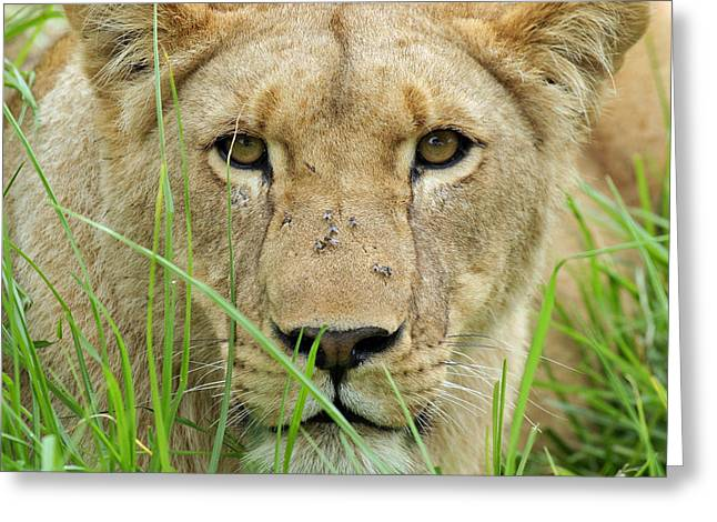 Greeting Card featuring the photograph Lioness by Riana Van Staden