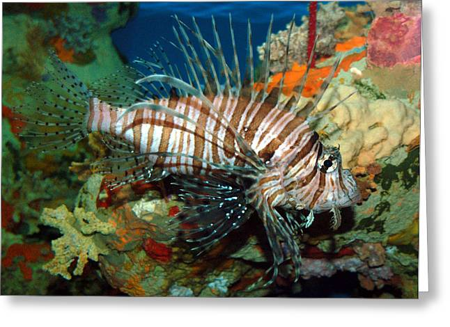 Greeting Card featuring the photograph Lionfish by Kathleen Stephens