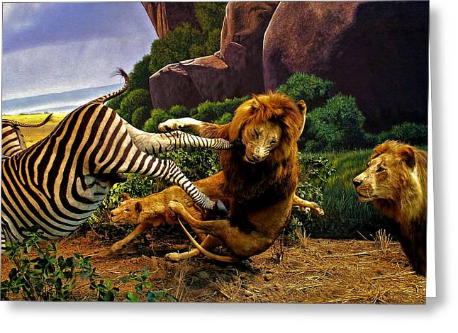 Lions Attack Zebra Greeting Card