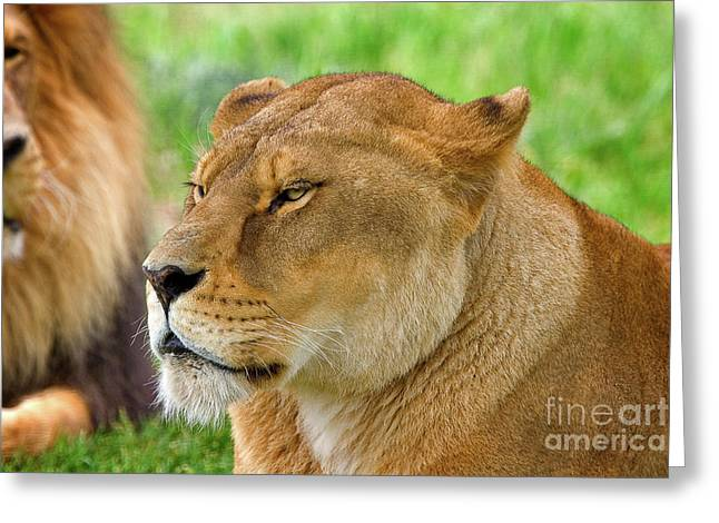 Lions Dozing In The Sun Greeting Card by Louise Heusinkveld