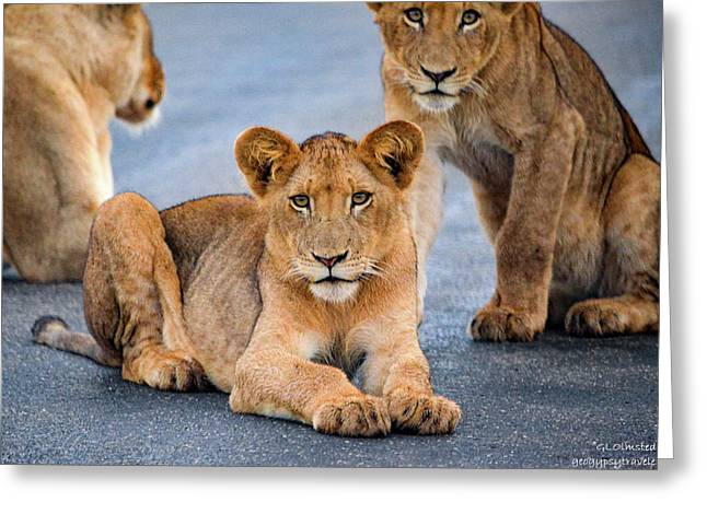 Lions Stare Greeting Card