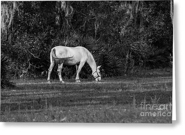 Lipizzan Stallion, Black And White Greeting Card by Liesl Walsh