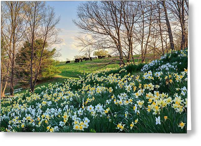 Litchfield Connecticut Daffodil Cows Greeting Card by Bill Wakeley