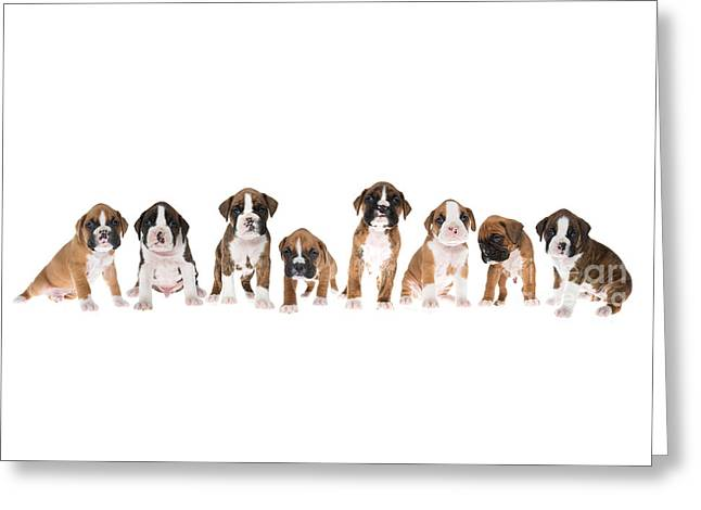 Litter Of Boxer Puppies Greeting Card