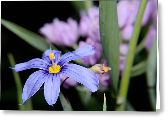 Greeting Card featuring the photograph Little Blue Flower by Karen Musick