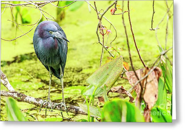 Little Blue Heron At Ollie's Pond Greeting Card