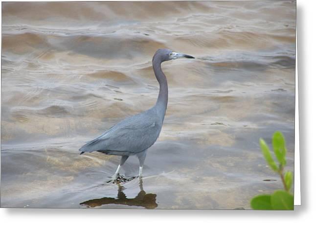 Little Blue Heron Greeting Card by Jeanette Oberholtzer