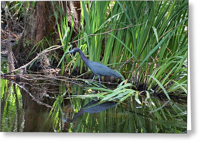 Greeting Card featuring the photograph Little Blue Heron by Sandy Keeton