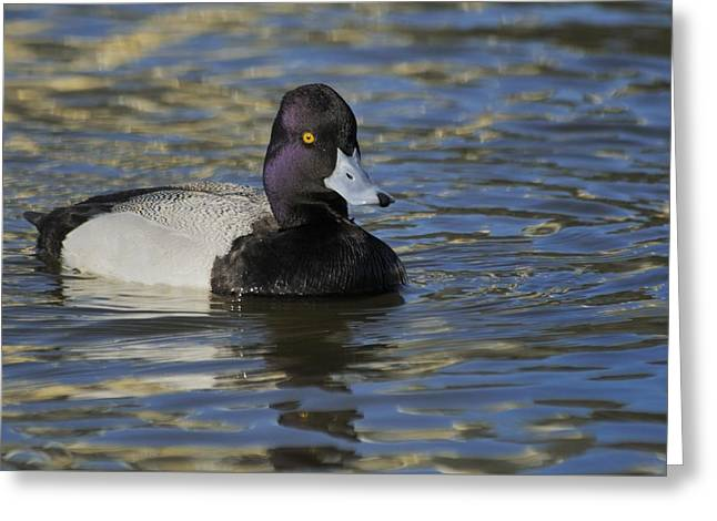 Greeting Card featuring the photograph Little Bluebill - Lesser Scaup Drake by Bradford Martin