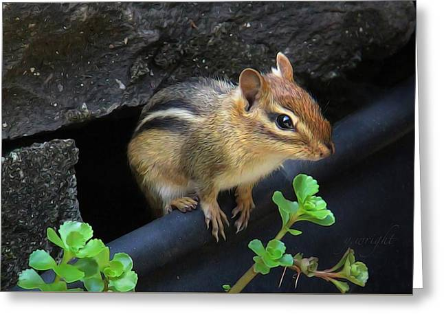 Little Chipmunk  Greeting Card
