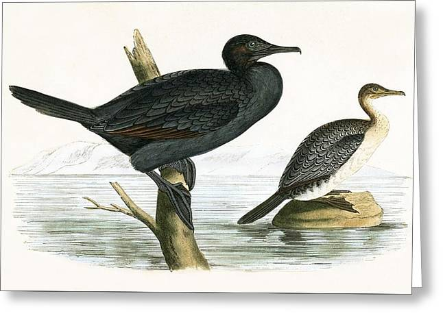 Little Cormorant Greeting Card by English School