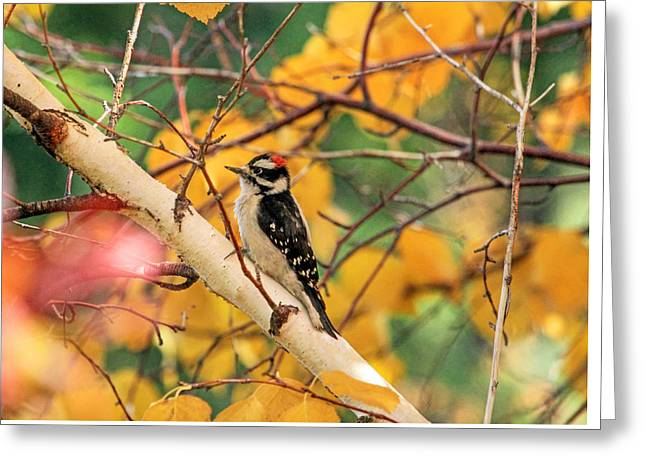 Little Downy In Autumn Greeting Card by Donna Kennedy