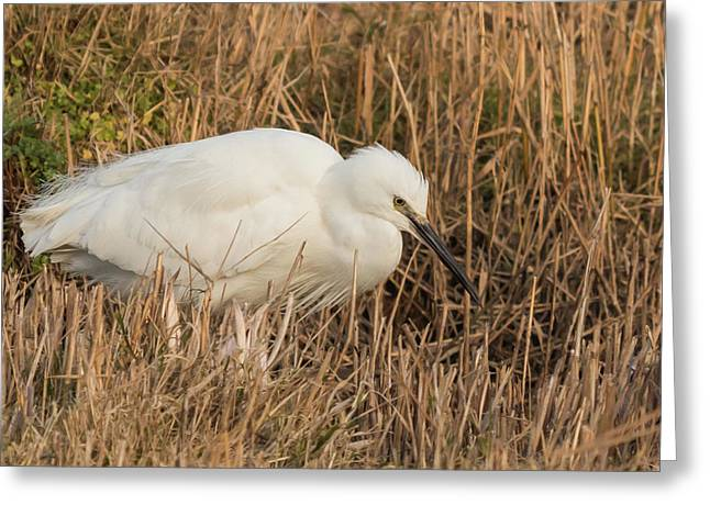 Little Egret Concentrating Greeting Card