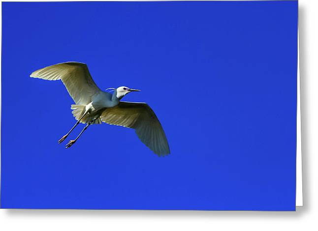 Little Egret, Egretta Garzetta Greeting Card