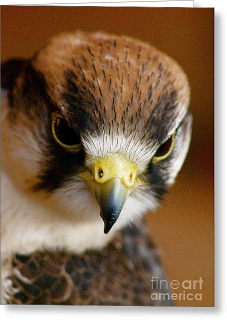 Greeting Card featuring the photograph Little Falcon by Louise Fahy