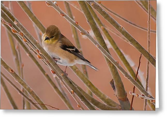 Little Finch Greeting Card by Heather Hubbard