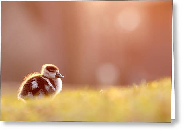 Little Furry Animal - Gosling In Warm Light Greeting Card